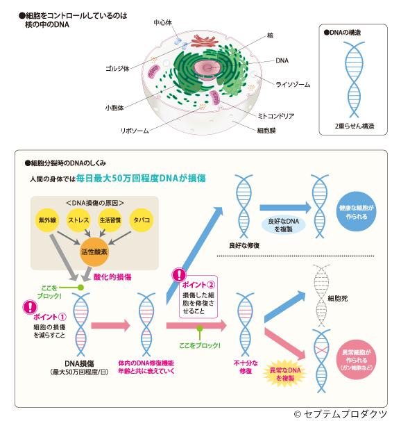 細胞分裂時の仕組み